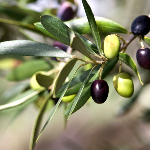 Olives in various stages of ripening. Soft focus background.